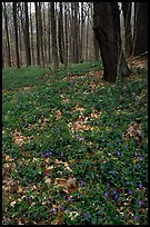 Forest floor with tint myrtle flowers, Brecksville Reservation. Cuyahoga Valley National Park ( color)