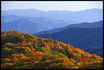 Trees with autumn colors and blue ridges from Clingmans Dome, North Carolina. Great Smoky Mountains National Park, USA. (color)