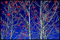 Bare trees, red Mountain Ash berries, blue sky, North Carolina. Great Smoky Mountains National Park, USA. (color)