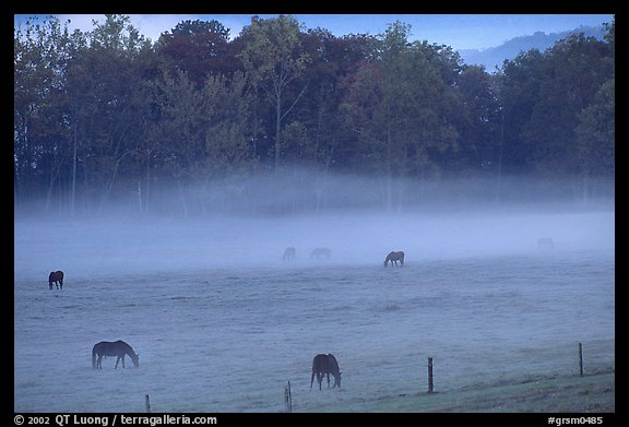 Horses and fog, Cades cove, dawn, Tennessee. Great Smoky Mountains National Park (color)