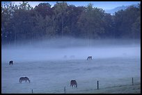 Horses and fog, Cades cove, dawn, Tennessee. Great Smoky Mountains National Park, USA.