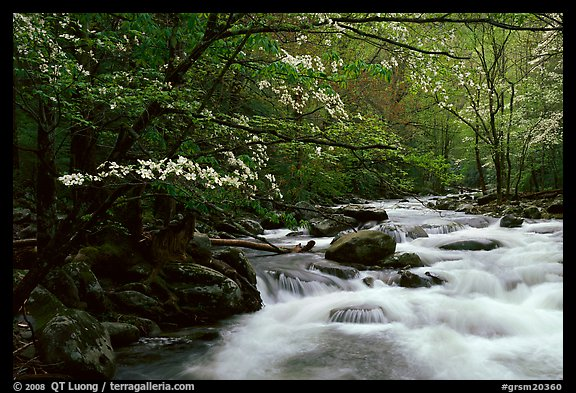 Stream with rapids and dogwoods in spring, Treemont, Tennessee. Great Smoky Mountains National Park (color)