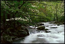Stream with rapids and dogwoods in spring, Treemont, Tennessee. Great Smoky Mountains National Park, USA. (color)