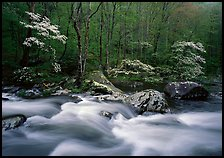 Three dogwoods with blossoms, boulders, flowing water, Middle Prong of the Little River, Tennessee. Great Smoky Mountains National Park, USA.