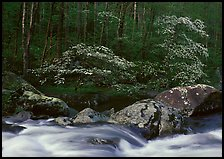 Two blooming dogwoods, boulders, flowing water, Middle Prong of the Little River, Tennessee. Great Smoky Mountains National Park, USA. (color)