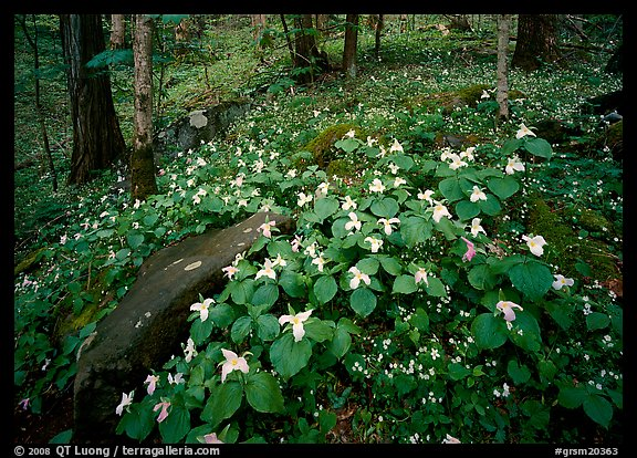 Carpet of White Trilium, Chimney Rock area, Tennessee. Great Smoky Mountains National Park (color)