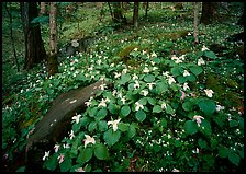 Carpet of White Trilium, Chimney Rock area, Tennessee. Great Smoky Mountains National Park, USA.