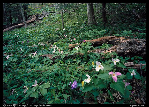 Forest undergrowth with multicolored Trillium, Chimney area, Tennessee. Great Smoky Mountains National Park (color)