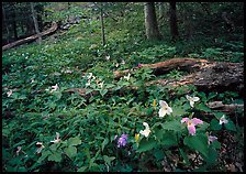 Forest undergrowth with multicolored Trillium, Chimney area, Tennessee. Great Smoky Mountains National Park, USA.