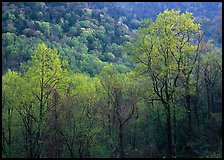 Trees and hillside with light green color of spring, late afternoon, Tennessee. Great Smoky Mountains National Park, USA. (color)