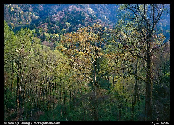 Tender green trees and hillside in spring, late afternoon, Tennessee. Great Smoky Mountains National Park (color)