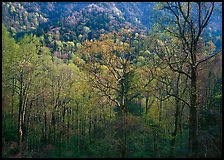Tender green trees and hillside in spring, late afternoon, Tennessee. Great Smoky Mountains National Park ( color)