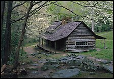 Noah Ogle historical cabin framed by blossoming dogwood tree, Tennessee. Great Smoky Mountains National Park, USA. (color)