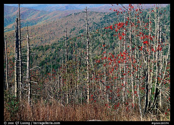 Bare mountain ash trees with red berries and hillside, Clingsman Dome. Great Smoky Mountains National Park (color)