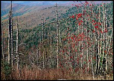 Bare mountain ash trees with red berries and hillside, Clingsman Dome. Great Smoky Mountains National Park, USA.