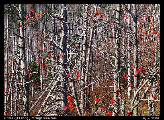 Bare trees with Mountain Ash berries, North Carolina. Great Smoky Mountains National Park (color)