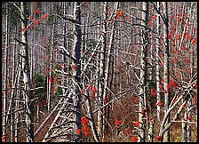 Bare trees with Mountain Ash berries, North Carolina. Great Smoky Mountains National Park, USA. (color)