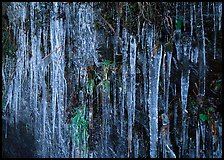 Icicles and green leaves. Great Smoky Mountains National Park, USA. (color)