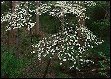 Flowering Dogwood (Cornus Florida), Tennessee. Great Smoky Mountains National Park, USA. (color)