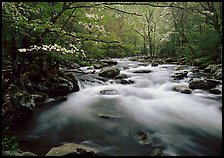 Fluid stream with and dogwoods trees in spring, Treemont, Tennessee. Great Smoky Mountains National Park, USA.