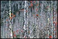 Bare trees with Mountain Ash  berries, North Carolina. Great Smoky Mountains National Park, USA.