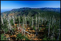 Fraser firs killed by balsam woolly adelgid insects on top of Clingman's dome, North Carolina. Great Smoky Mountains National Park ( color)