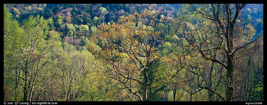 Trees with new leaves and hillside. Great Smoky Mountains National Park, USA.