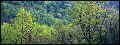 Spring landscape with new leaves. Great Smoky Mountains National Park (Panoramic color)