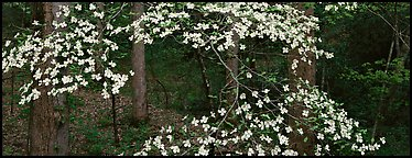 Branches with dogwood flowers. Great Smoky Mountains National Park (Panoramic color)