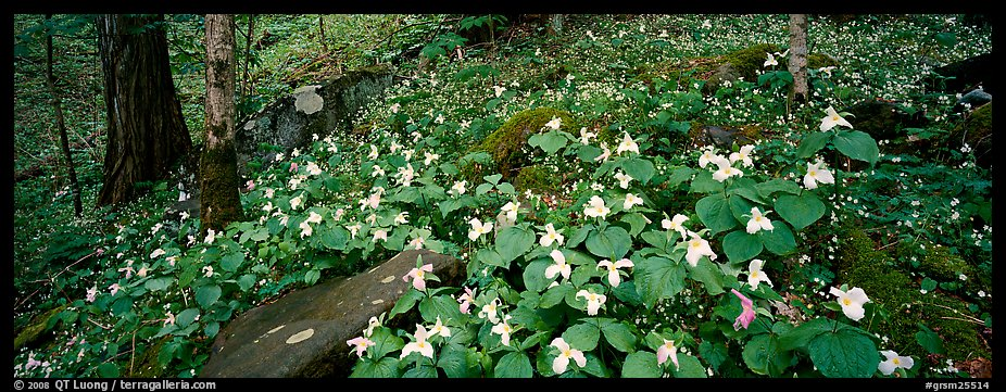 Forest floor with trilium. Great Smoky Mountains National Park (color)