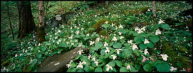 Forest floor with trilium. Great Smoky Mountains National Park (Panoramic color)