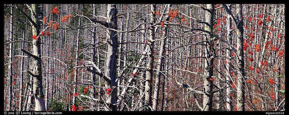 Forest in the fall with red berries. Great Smoky Mountains National Park (color)