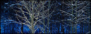 Forest in winter with illuminated trees and blue shadows. Great Smoky Mountains National Park (Panoramic color)