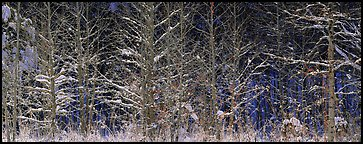 Forest scene in winter with fresh snow. Great Smoky Mountains National Park (Panoramic color)