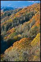 Slopes with forest in fall foliage, North Carolina. Great Smoky Mountains National Park, USA. (color)