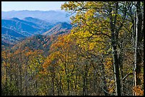 Trees in fall foliage and distant ridges from Newfound Gap road, North Carolina. Great Smoky Mountains National Park, USA.