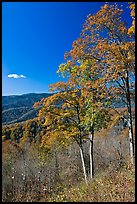 Trees in autumn colors and mountain vista, North Carolina. Great Smoky Mountains National Park ( color)