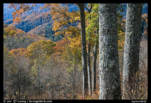 Tree trunks, distant valley, and fall colors, North Carolina. Great Smoky Mountains National Park (color)
