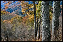 Tree trunks, distant valley, and fall colors, North Carolina. Great Smoky Mountains National Park ( color)