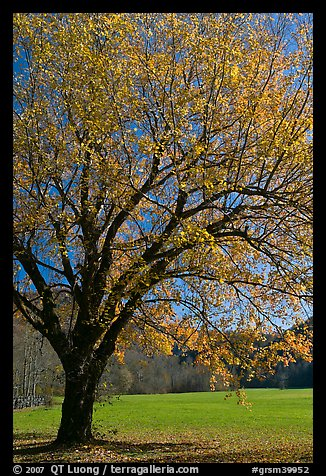 Tree in fall foliage and meadow, Oconaluftee, North Carolina. Great Smoky Mountains National Park, USA.