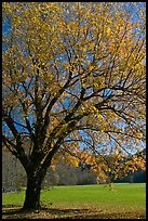 Tree in fall foliage and meadow, Oconaluftee, North Carolina. Great Smoky Mountains National Park, USA. (color)