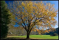 Tree in autumn foliage and meadow, Oconaluftee, North Carolina. Great Smoky Mountains National Park, USA.