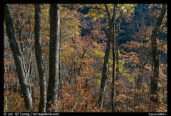 Backlit trees in autumn foliage, Balsam Mountain, North Carolina. Great Smoky Mountains National Park (color)