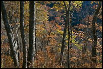 Backlit trees in autumn foliage, Balsam Mountain, North Carolina. Great Smoky Mountains National Park, USA.