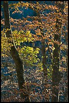 Backlit trees in fall foliage, Balsam Mountain, North Carolina. Great Smoky Mountains National Park ( color)