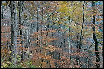 Trees in autumn colors in muted light, Balsam Mountain, North Carolina. Great Smoky Mountains National Park ( color)