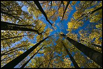 Looking up forest in fall color, Tennessee. Great Smoky Mountains National Park ( color)