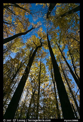 Looking up forest in fall foliage, Tennessee. Great Smoky Mountains National Park (color)