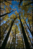 Looking up forest in fall foliage, Tennessee. Great Smoky Mountains National Park, USA. (color)