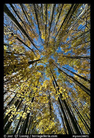 Looking up yellow leaves and forest in autumn color, Tennessee. Great Smoky Mountains National Park (color)